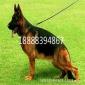 德国牧羊犬养殖基地 德牧幼犬出售价格 德牧犬舍